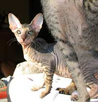 pd suede shammy hairless cat kitten
