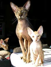 a fine pair of Peterbald cats