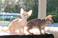 two excellent Russian Peterbald kittens