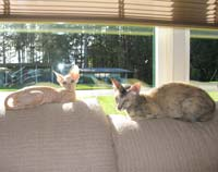 Peterbald kitten and velour adult