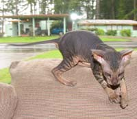 Peterbald blunt wedge shaped head