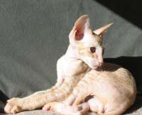 Peterbald kitten three quarter face