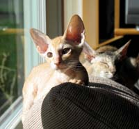 Peterbald hairless kitten and velour mother