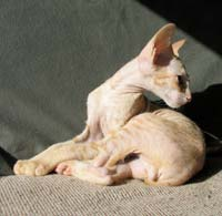 Russian Peterbald kitten profile
