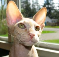 funnry peterbald picture