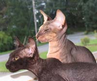 shammy and velour peterbald kittens