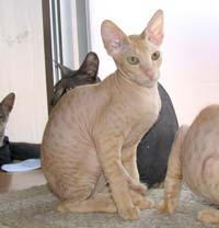 red peterbald kitten