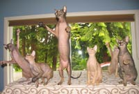 group of peterbald cats and kittens