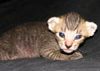 Peterbald kitten brush coat male may be availble for sale or adoption