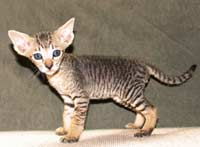 Male Peterbald kitten Black Tabby hairless cat
