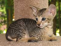 Peterbald kitten brush coat tabby male