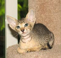 peterbald kitten brush coat