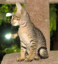 peterbald kitten velour brush coat