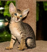 peterbald kitten sitting