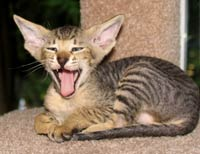 Peterbald Kitten Yawn -  male velour coat tabby