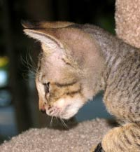 Peterbald Kitten -  male velour coat tabby