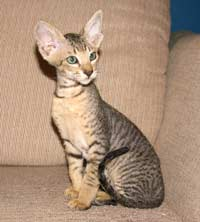 Velour coat Peterbald kitten