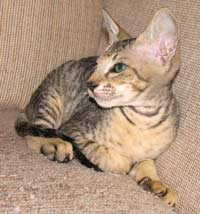 peterbald kitten hairless cat