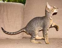tabby PD peterbald mackeral tabby kitten hairless cat