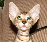 Peterbald kitten head shot