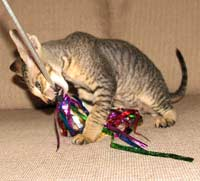 peterbald catches the teaser