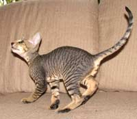 peterbald kitten photo