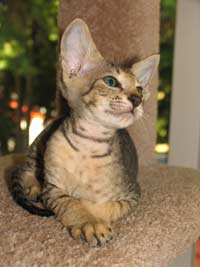 Peterbald kitten hairless cat spotted mackeral tabby velour coat