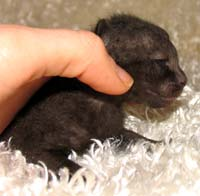 Baby russian peterblad kitten black female