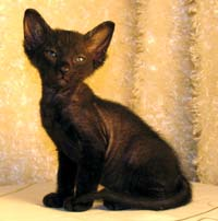 black velour coat peterbald kitten