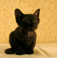 black PD kitten