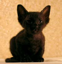 black femal russian sphinx PD kitten