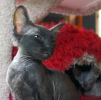 black peterbald kitten