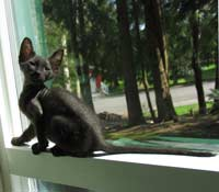 black female Peterbald kitten velour coat