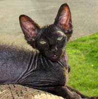 velour black female russian peterbald kitten