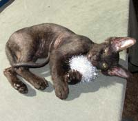 playful peterbald