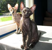 peterbald kitten and queen momma