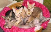 Group of Russian Peterbald cats and kittens