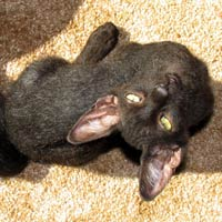black peterbald kitten available