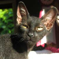 black brush coated peterbald kitten