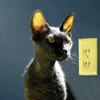 Black brush coated kitten Peterbald