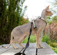 Balduchi Amadeus of Shamira, chocolate spotted peterbald stud tom cat