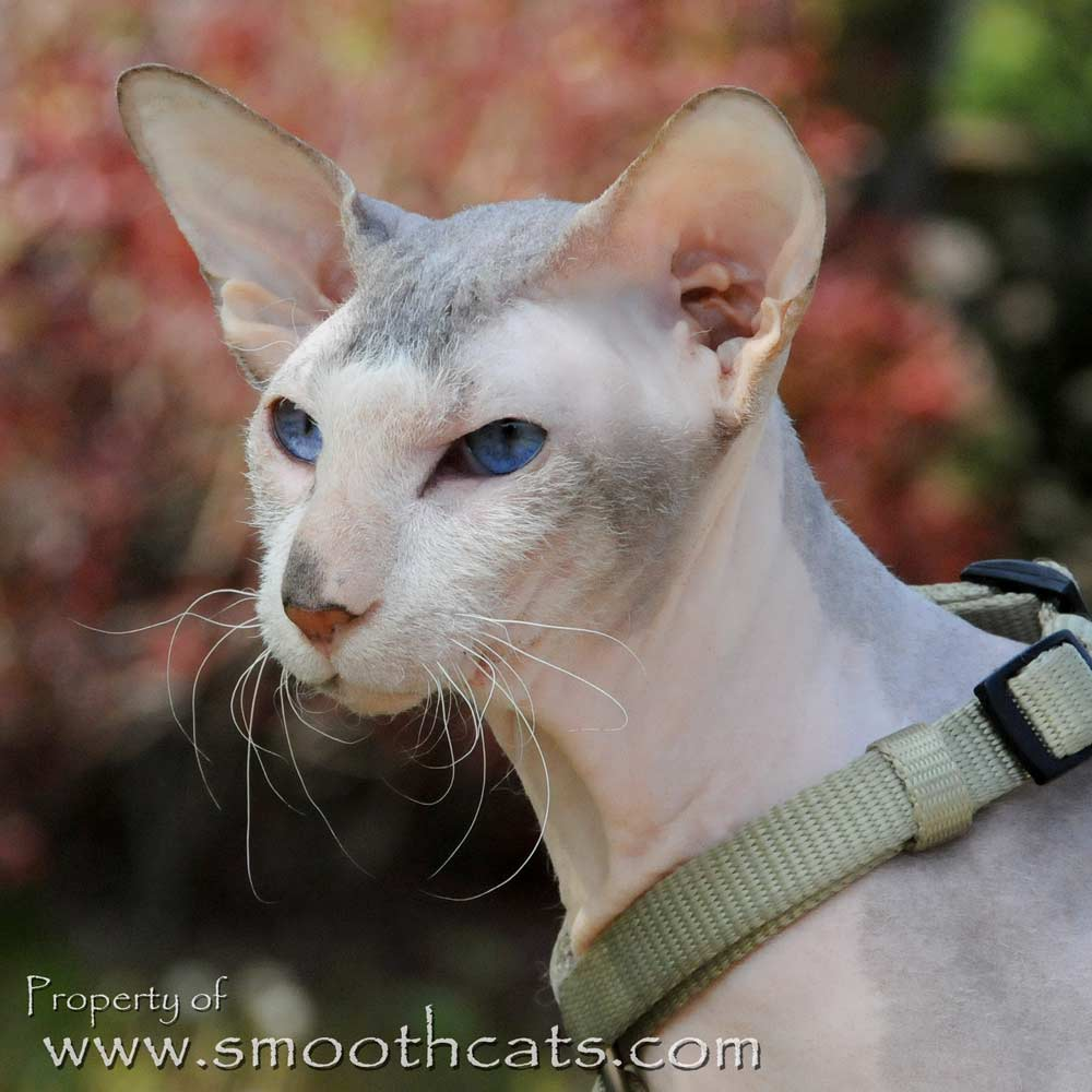 Hairless Cats and Kittens