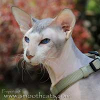 Barabashka Bibigon, Seal lynx (tabby) point and white Peterbald, flock coated male stud hairless cat