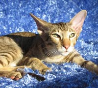 Mercuryhold Stepan of Shamira, TICA Supreme Grand Champion Male Peterbald stud cat