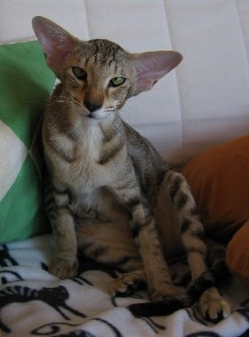 cat mixed shamira cattery russian peterbald hairless cats and kittens