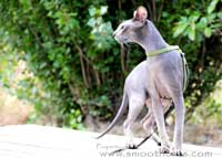 Mercuryhold Stepan of Shamira, TICA's first Male Peterbald Supreme Grand Champion!