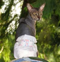 Stud pants for cat peterbald