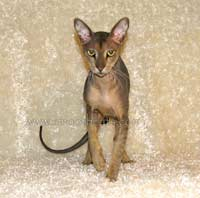 Mercuryhold Stepan of Shamira - Russian peterbald hairless cat