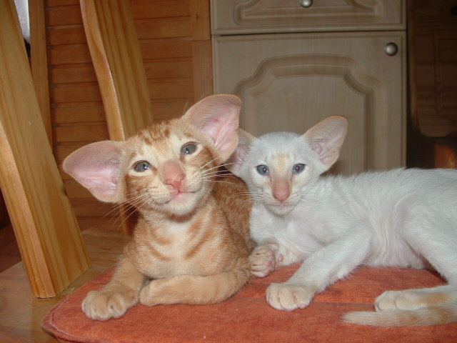 Red Point Red Tabby And Red Point Male