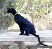 Ebony Oriental Short Hair cat